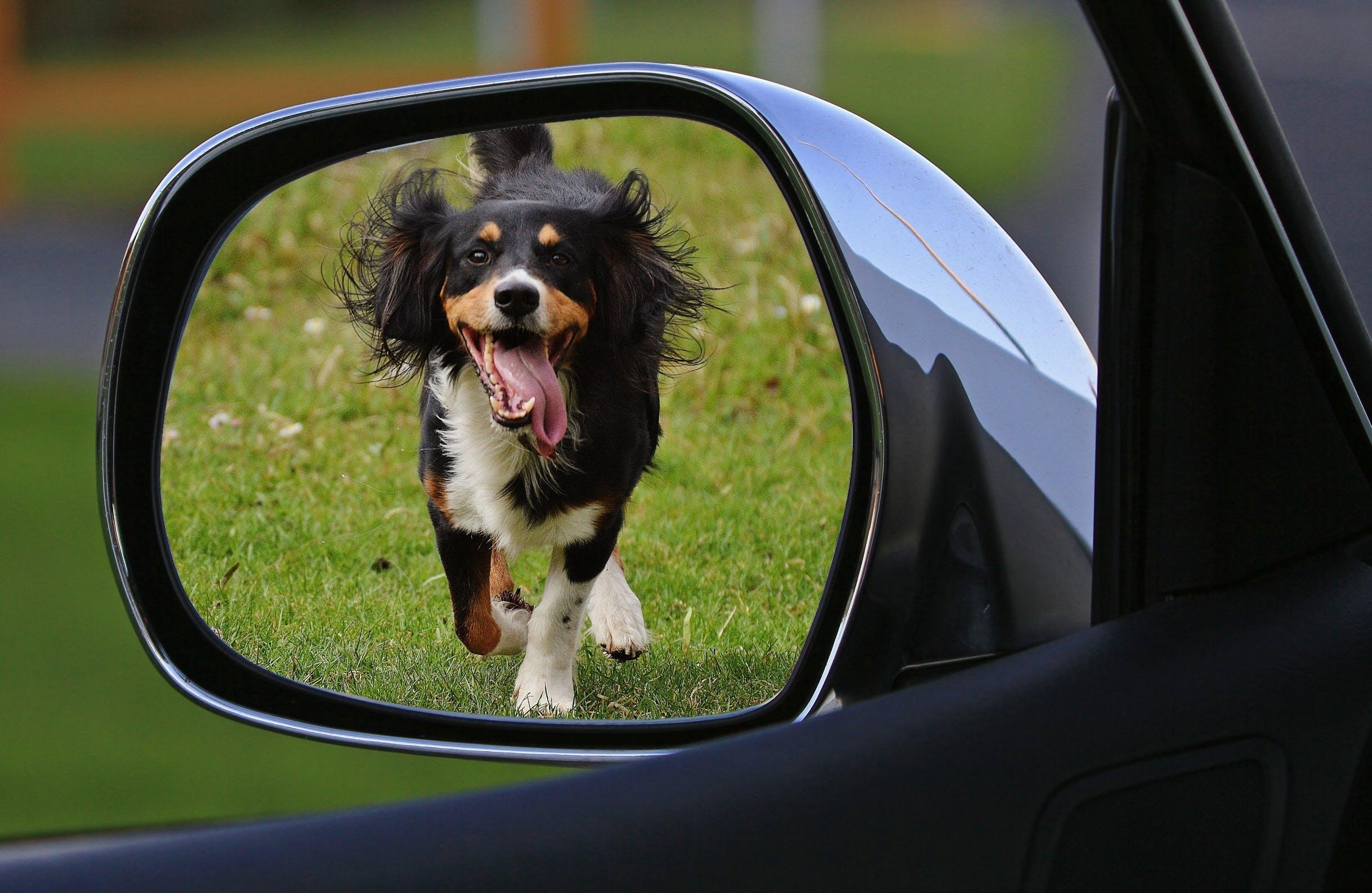 Tricolor Short Coat Dog Running