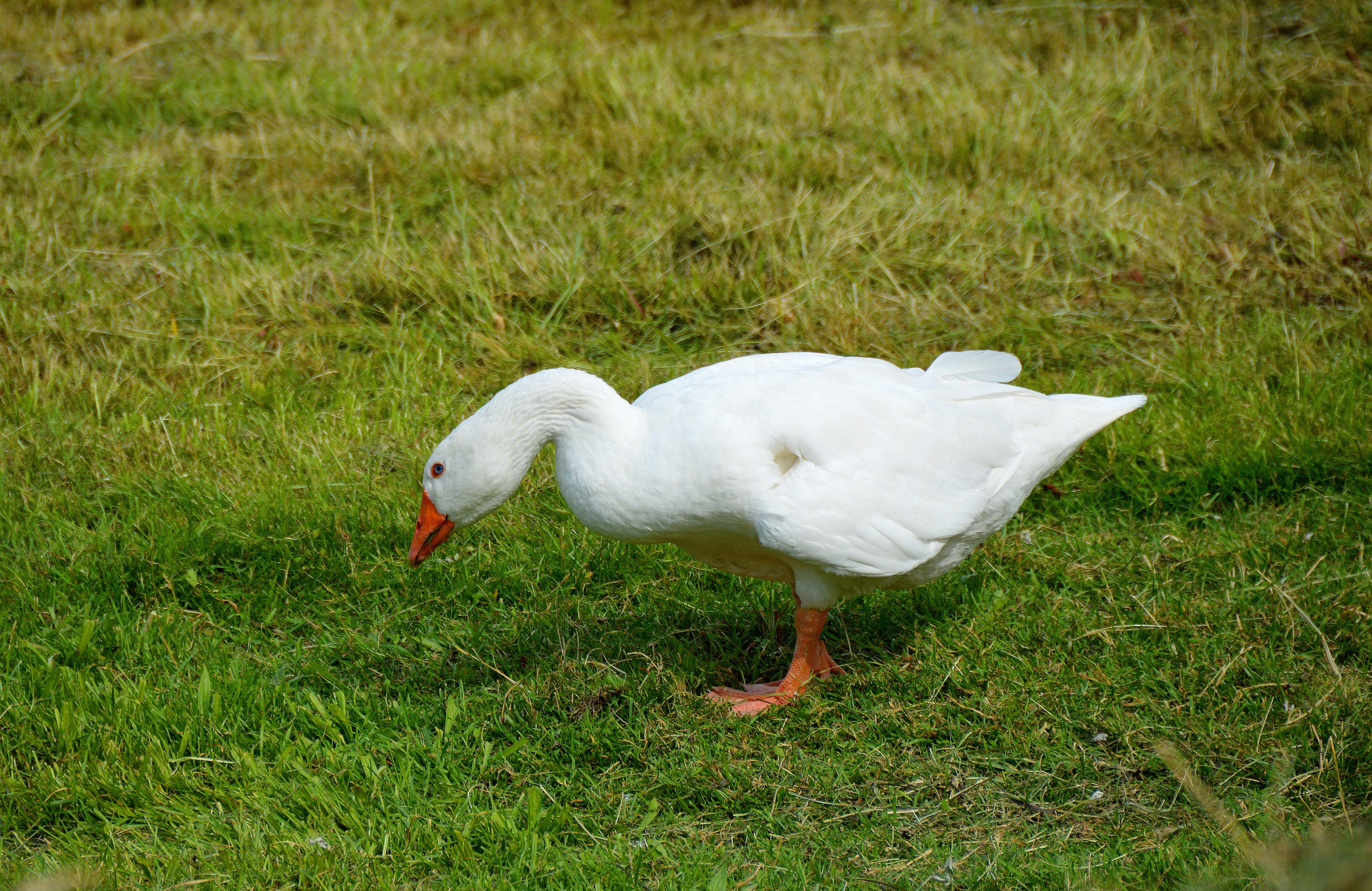 White Goose on Green Grass Field during Daytime