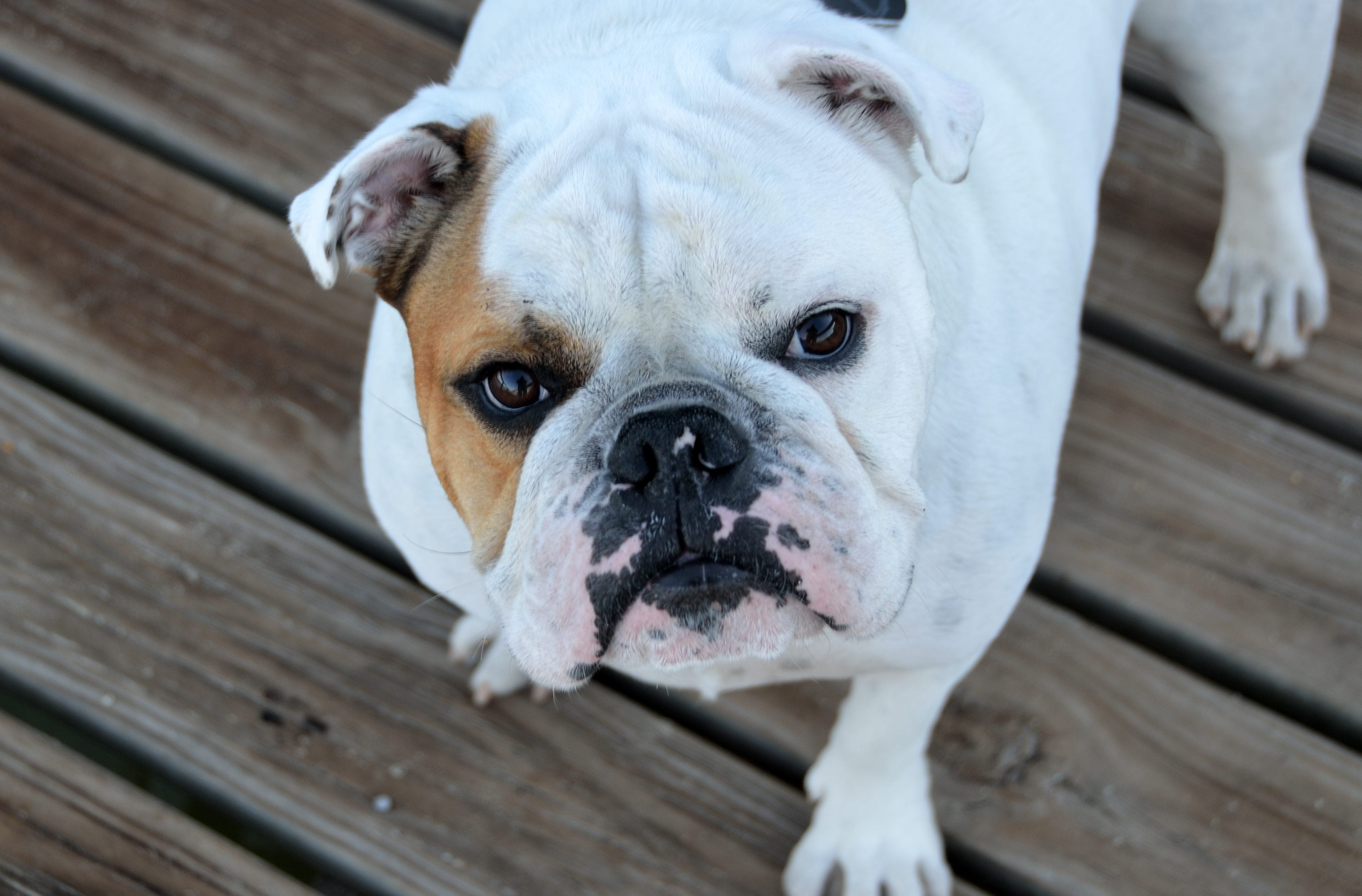 White and Brown Bulldog on Brown Wood Planks
