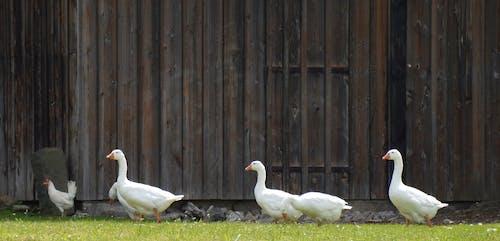Ingyenes stockfotó állatok, aranyos, cuki, farm témában
