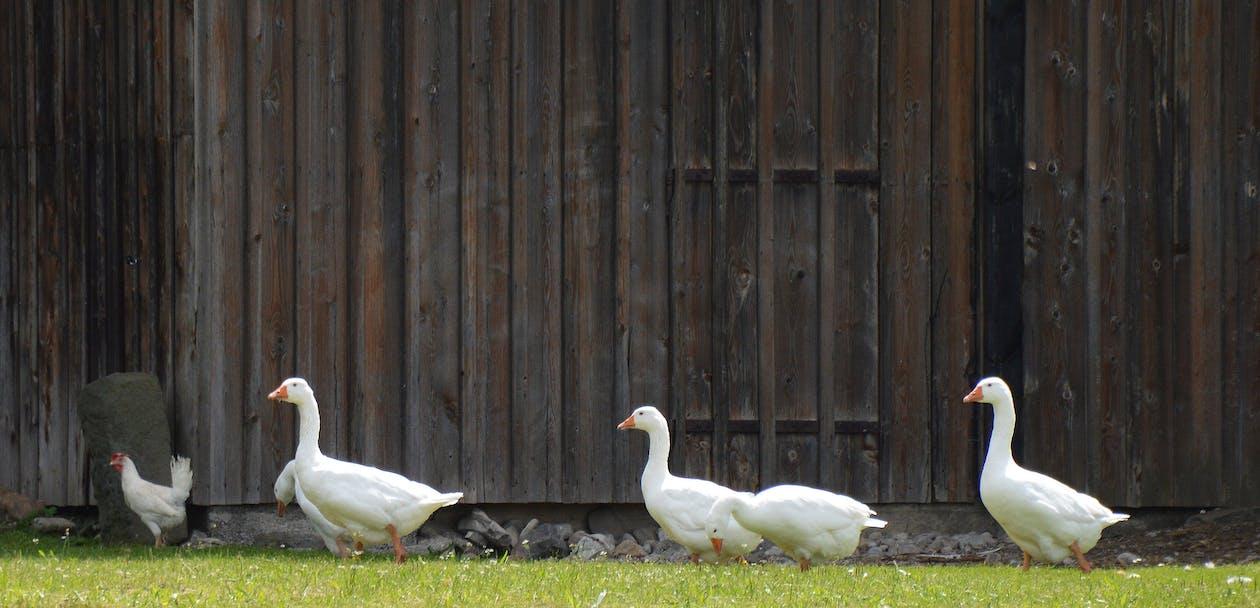 bauernhof, farm, gänse