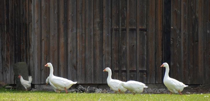 4 White Goose