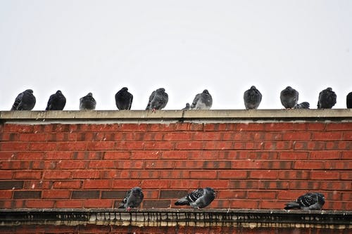 Free stock photo of pigeons