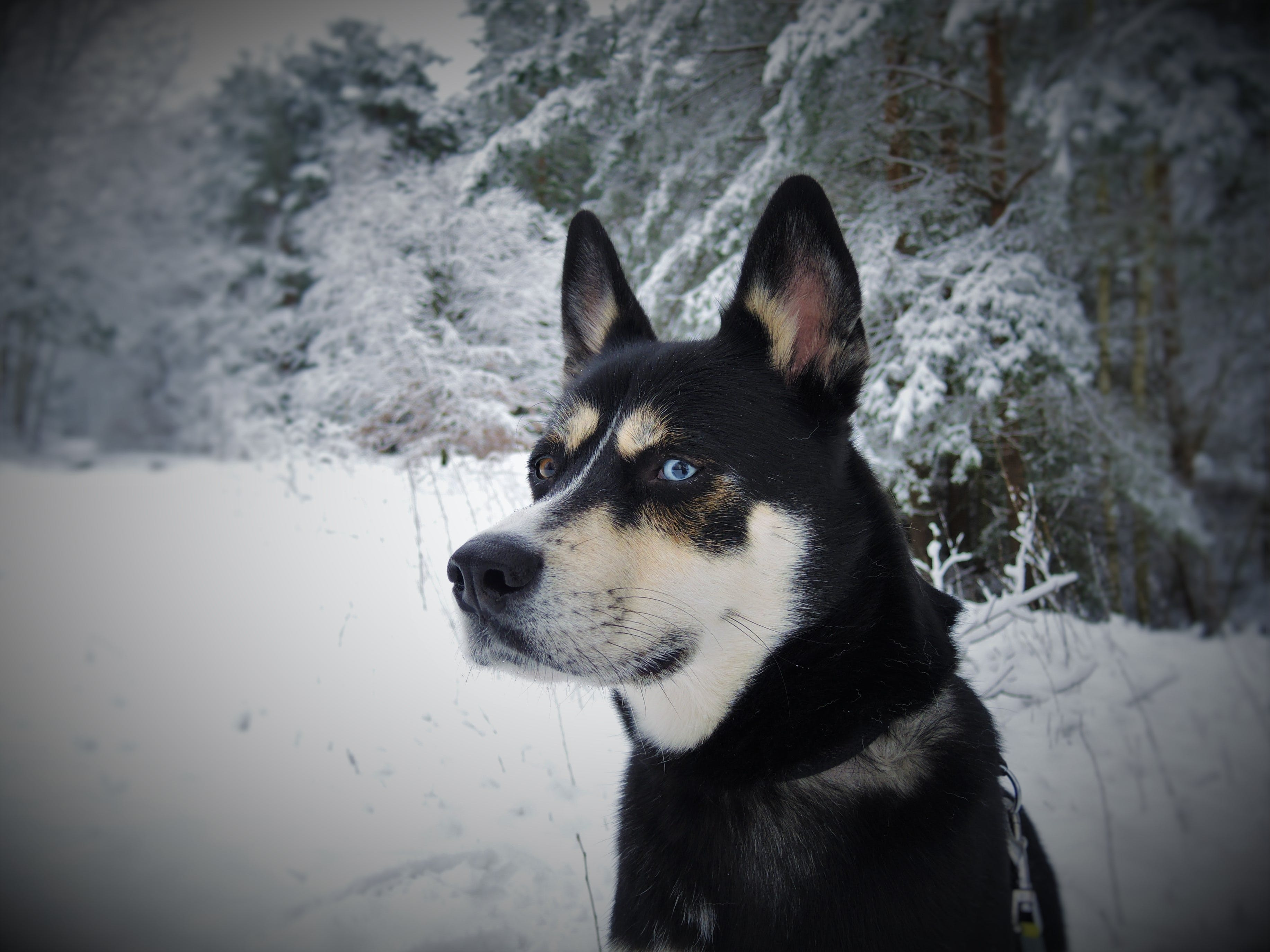 Black White and Tan Eas Siberian Laika Dog in Snow