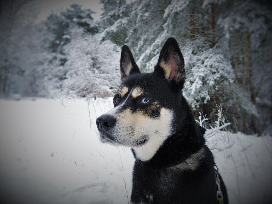 Black White and Tan Eas Siberian Laika Dog in Snow