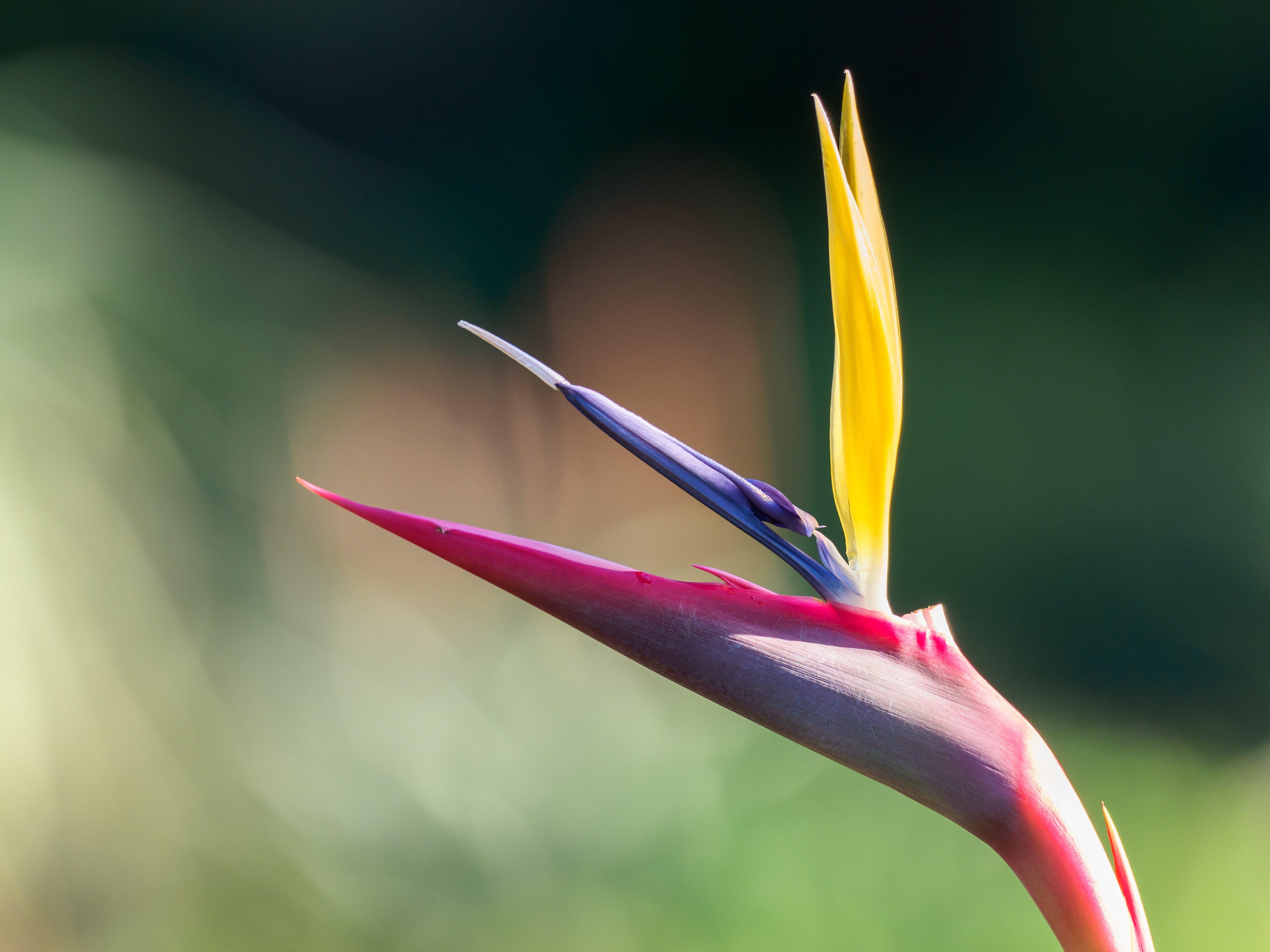 Birds of Paradise Plant