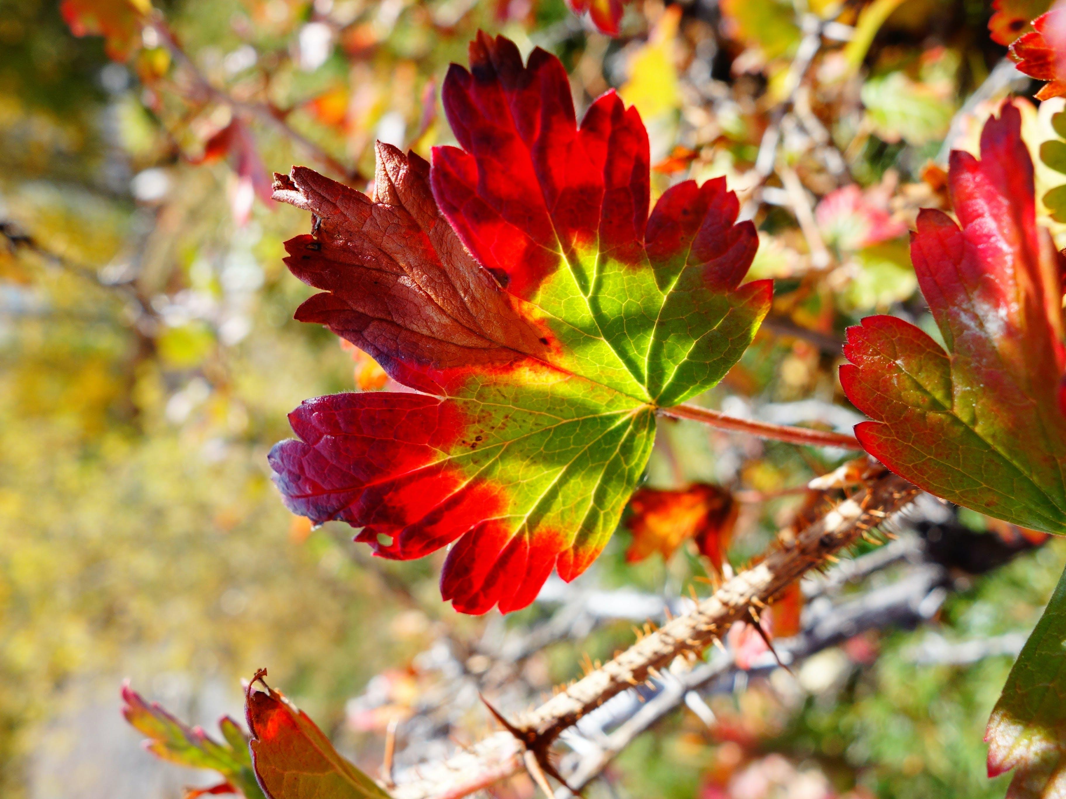 Kostenloses Stock Foto zu ahorn, ahornblatt, ahornblätter, farben