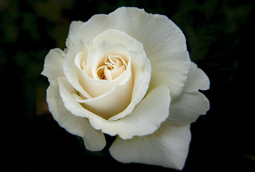 Image result for image of white roses