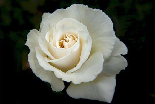 1000 great white rose photos pexels free stock photos white rose mightylinksfo