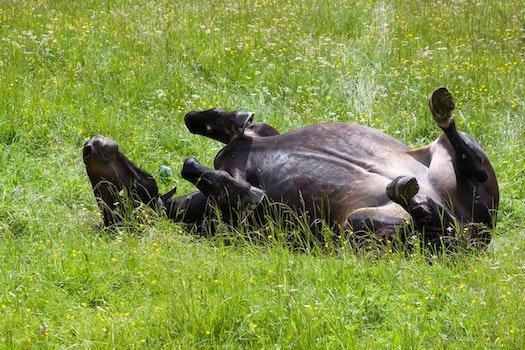 Black Horse Lying on Green Field