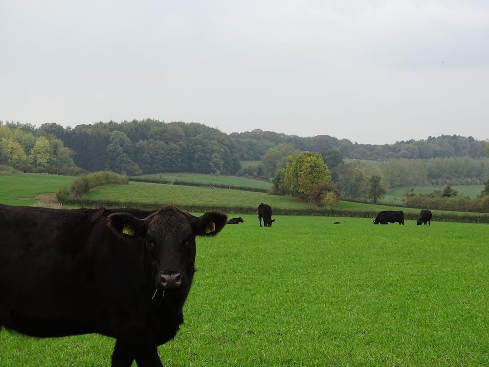 ฝันเห็นวัวสีดำ