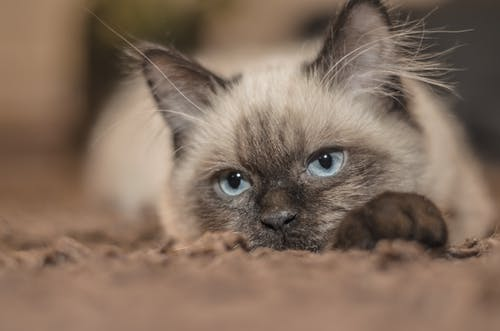 Focus Photography of Siamese Cat