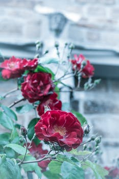 Donate Your Car >> Pink Rose Close Up Photography · Free Stock Photo