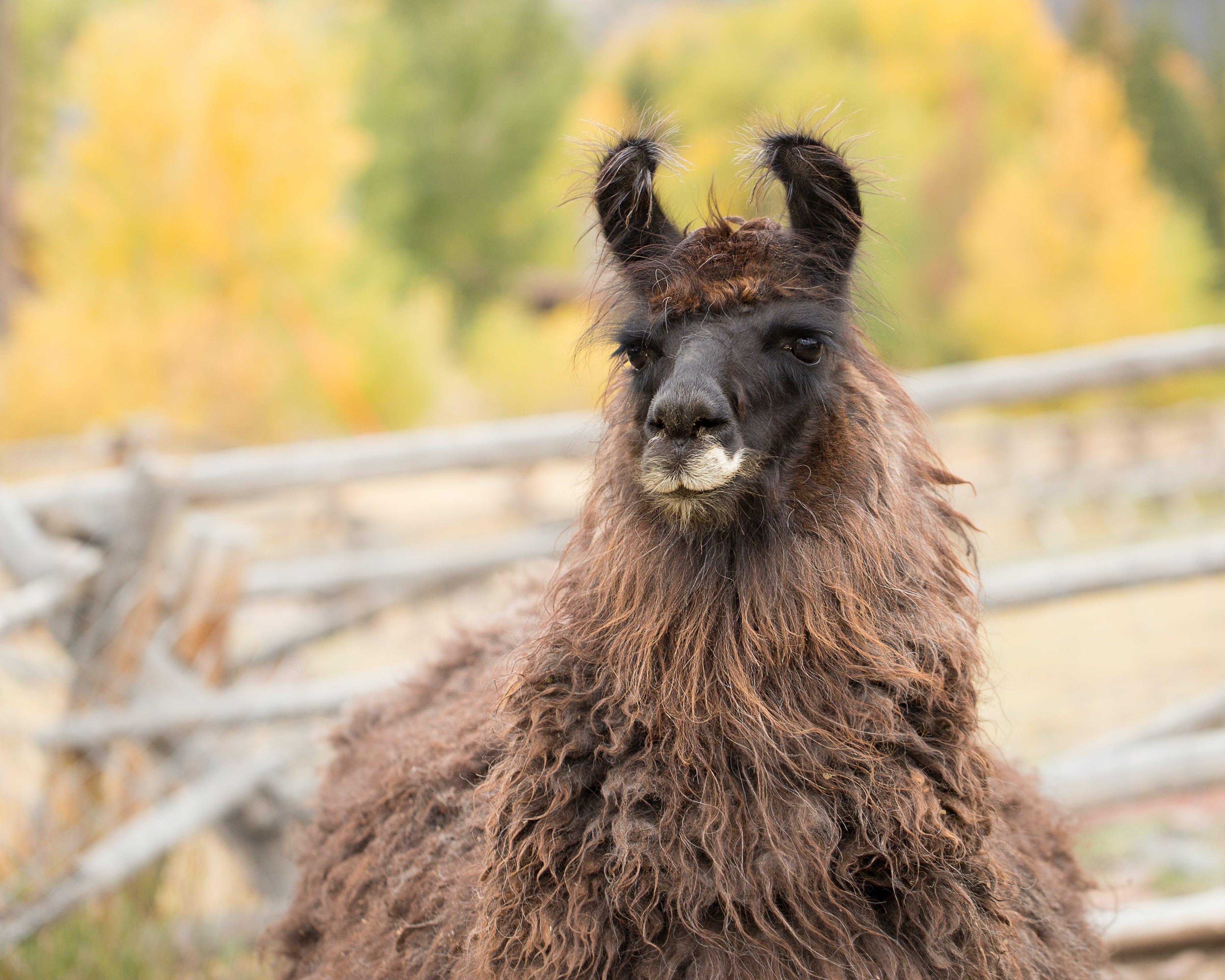Free stock photo of domestic animal, domestic animals, farm animals, llama