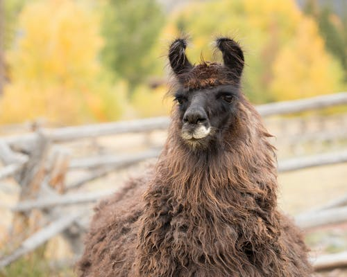 Free stock photo of domestic animal, domestic animals, farm animals, llama