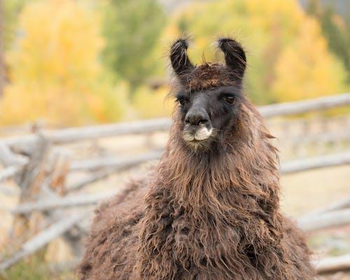 농장 동물, 라마의 무료 스톡 사진
