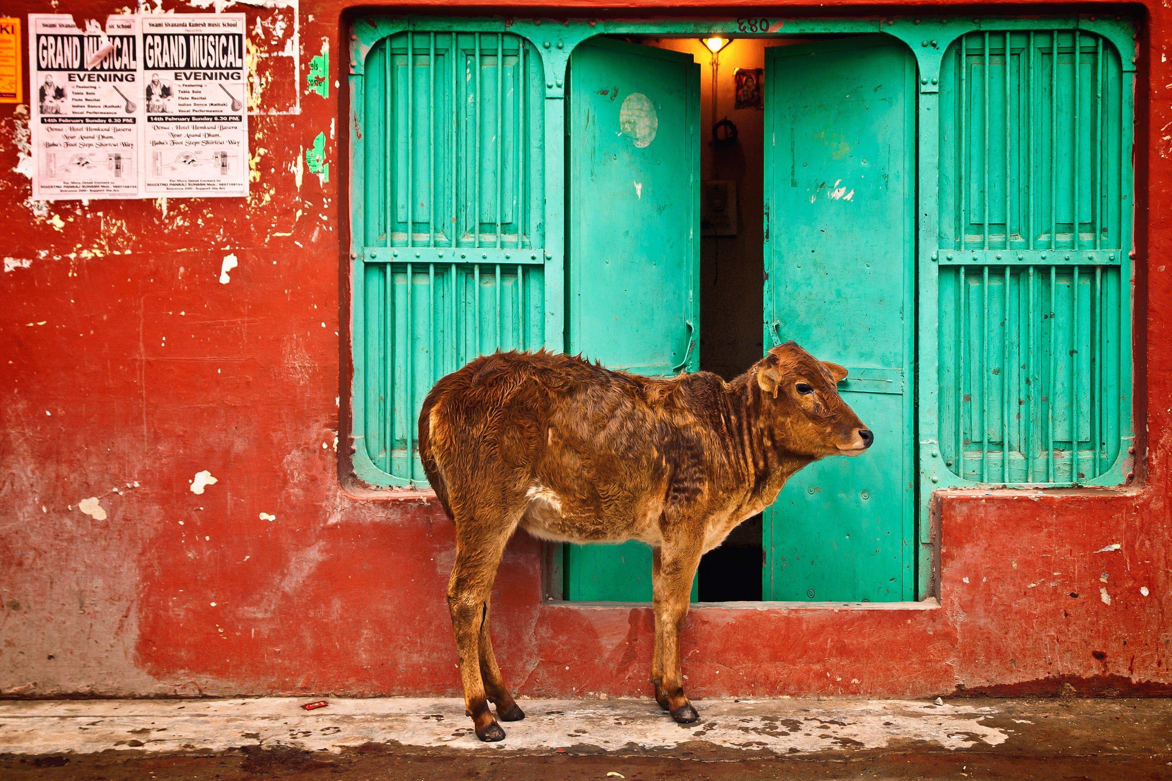 Free stock photo of animal, architecture, asia, city