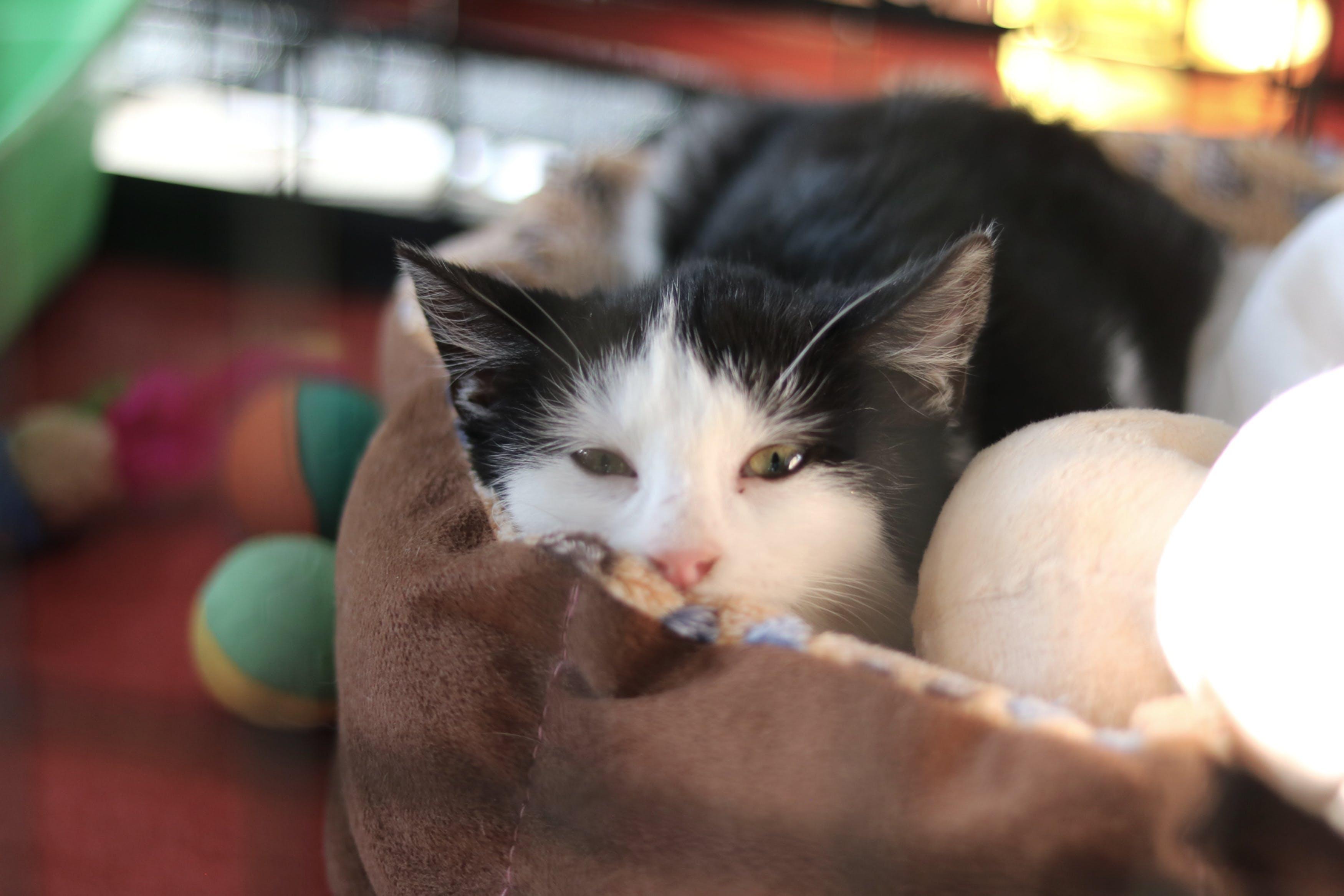 Free stock photo of cat, christmas, christmas lights, cozu