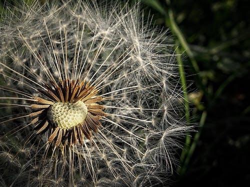 Immagine gratuita di bocciolo, dente di leone, fiore, flora