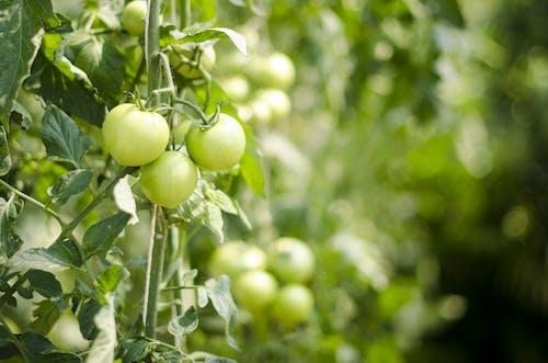 Imagine de stoc gratuită din adâncime de câmp, fermă, legume, proaspăt