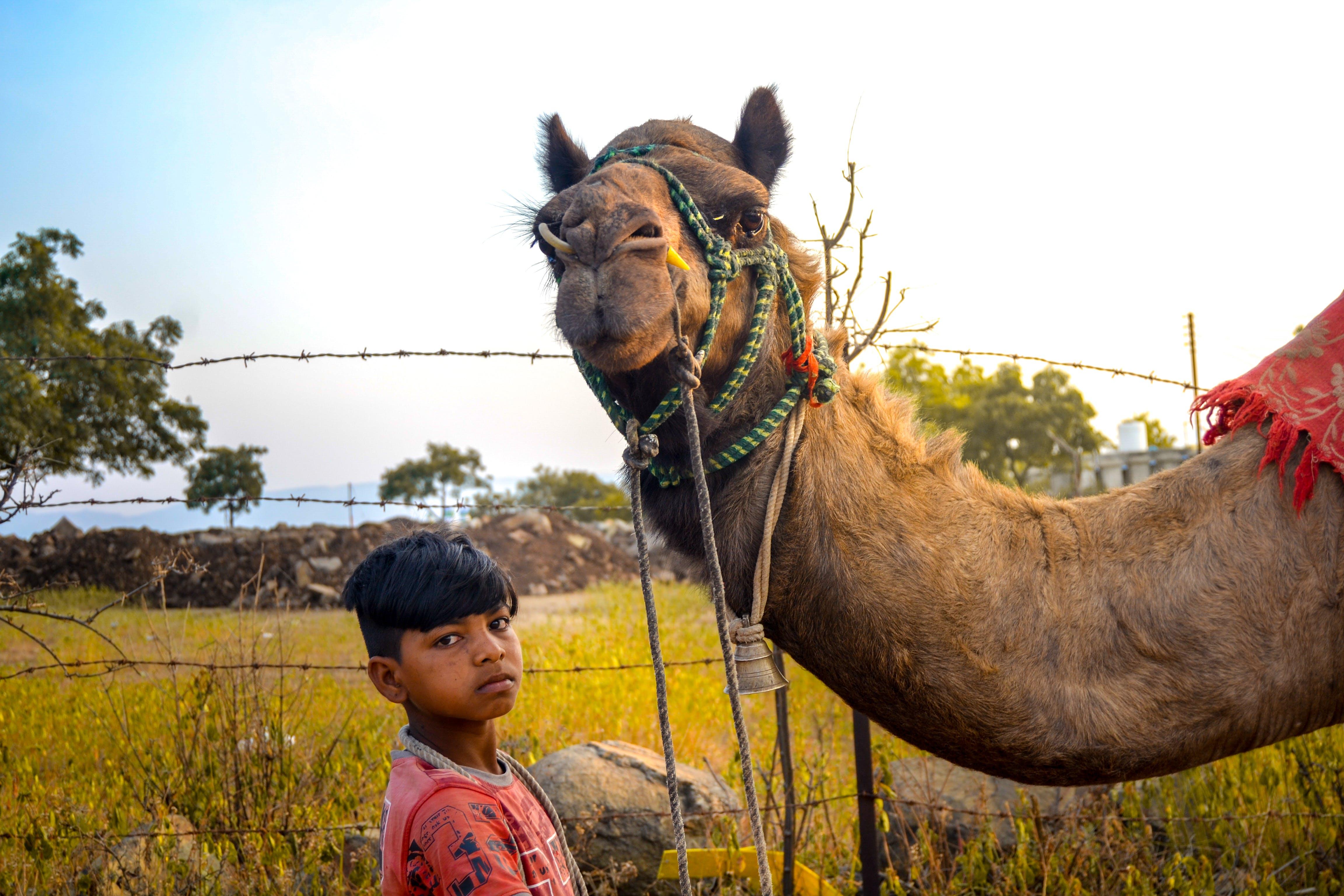 Kostnadsfri bild av arab, Arabisk kamel, arbetskraft, asiatisk pojke