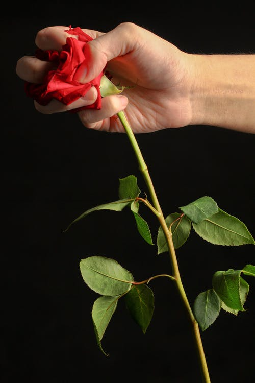 植物群, 玫瑰, 綻放, 花 的 免費圖庫相片