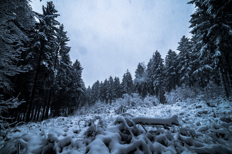 Foto d'estoc gratuïta de arbres, bosc, boscos, congelat