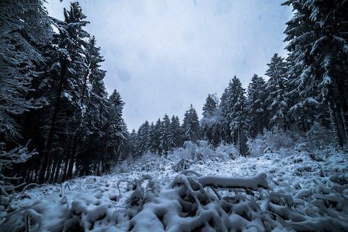 Immagine gratuita di alberi, boschi, congelato, conifera