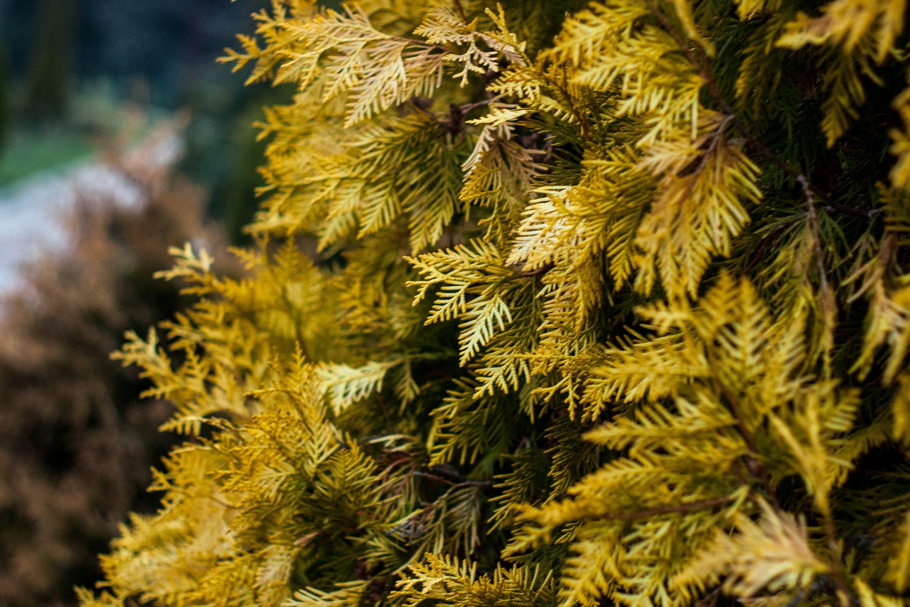 Δωρεάν στοκ φωτογραφιών με larix lyallii, αειθαλής, γκρο πλαν, δέντρο