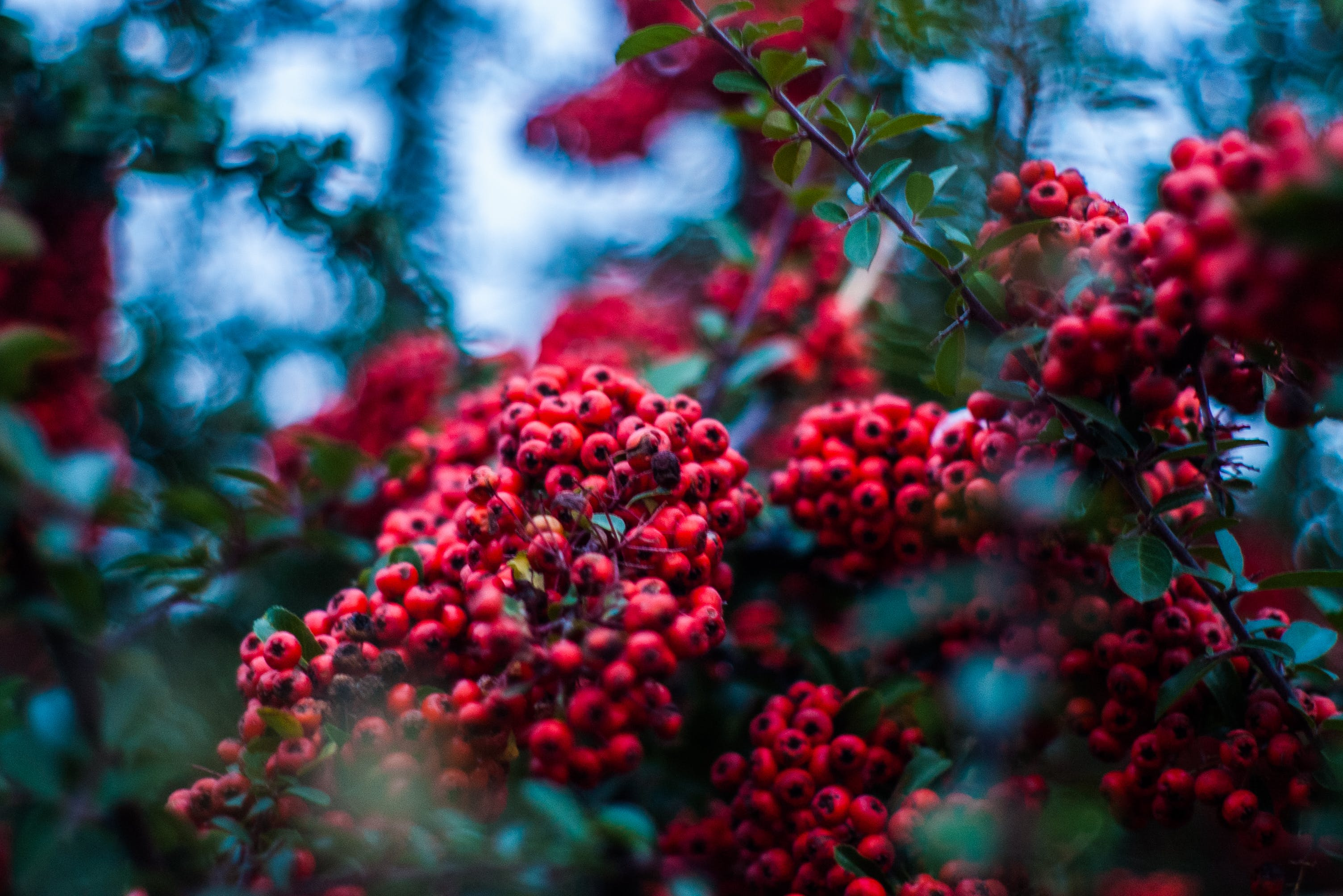 Selective Focus Photography of Red Wild Berry