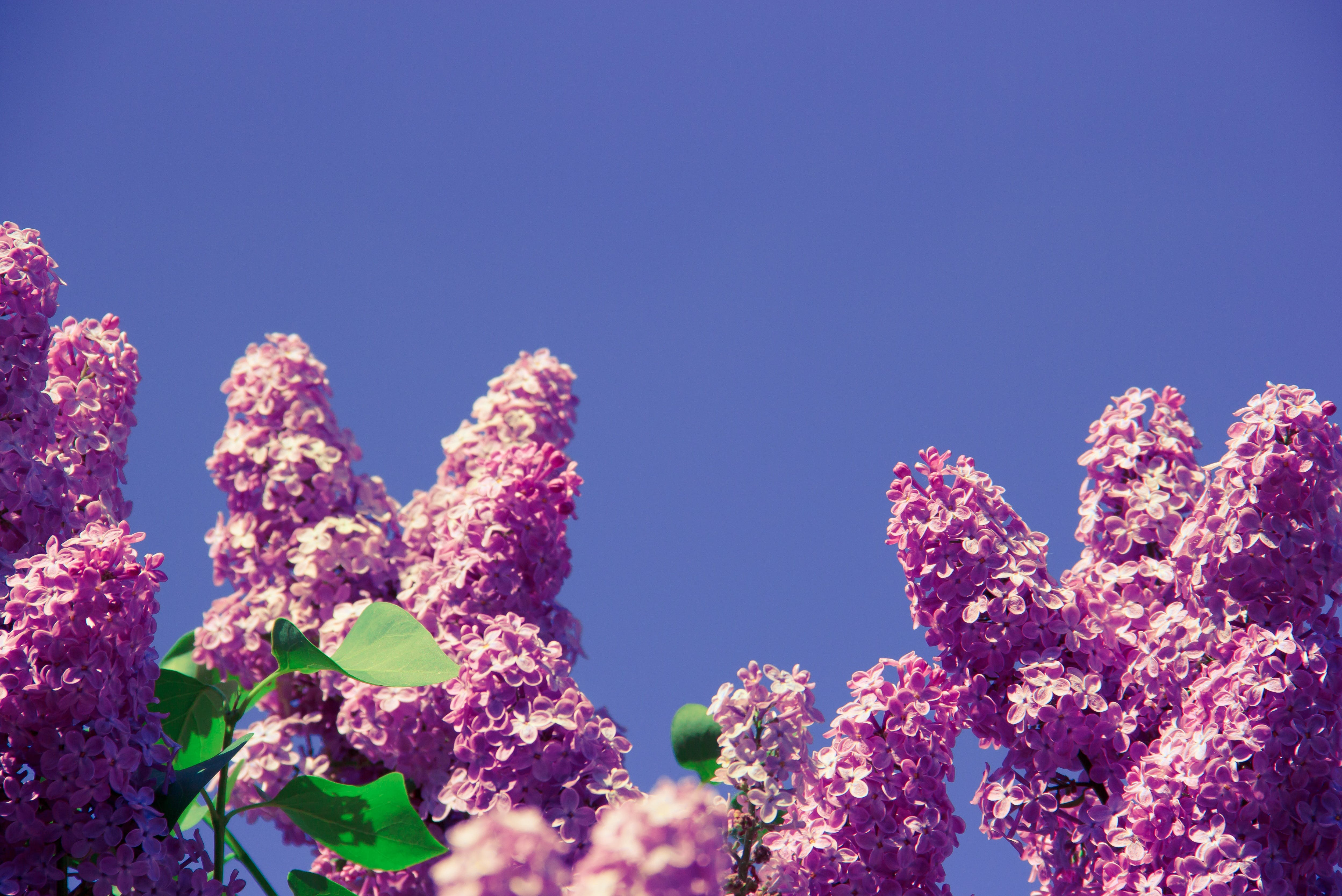 Free stock photo of aroma, bloom, blossom, day