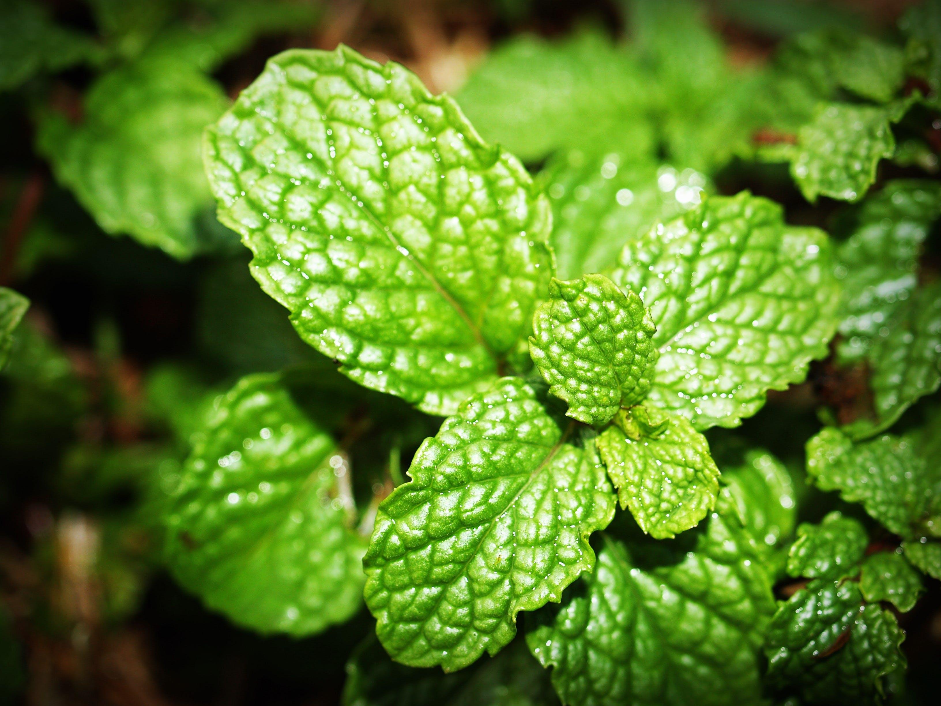 Green Herbal Leaf