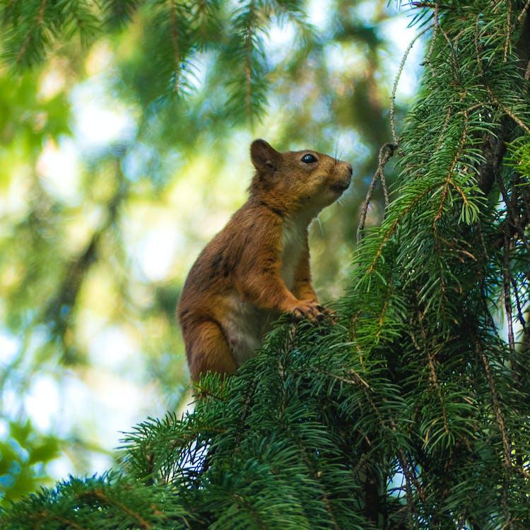 borovicové listy, chlpatý, cicavec