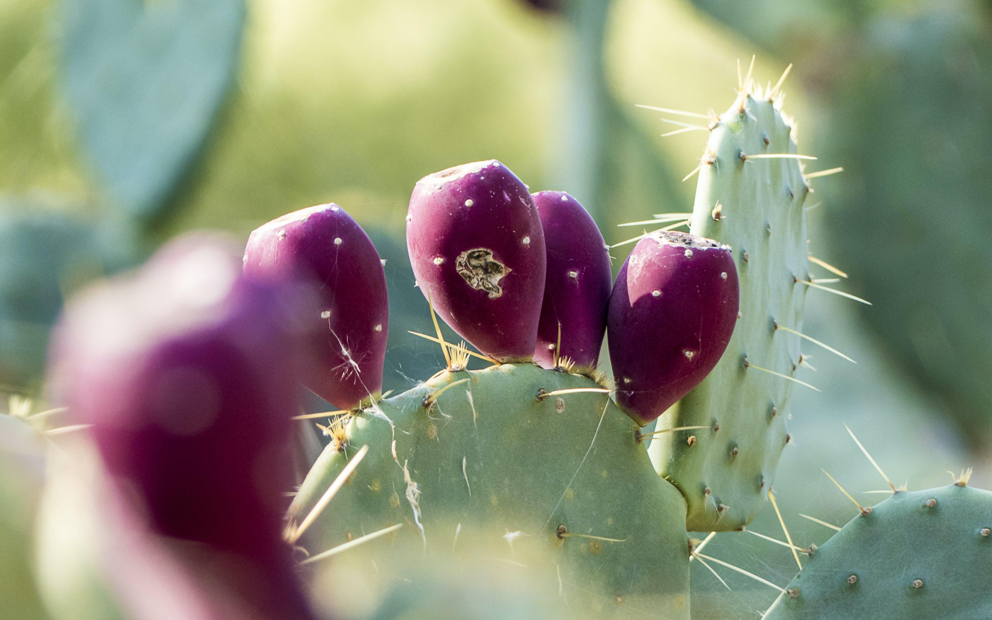 Gratis lagerfoto af kaktusfrugt