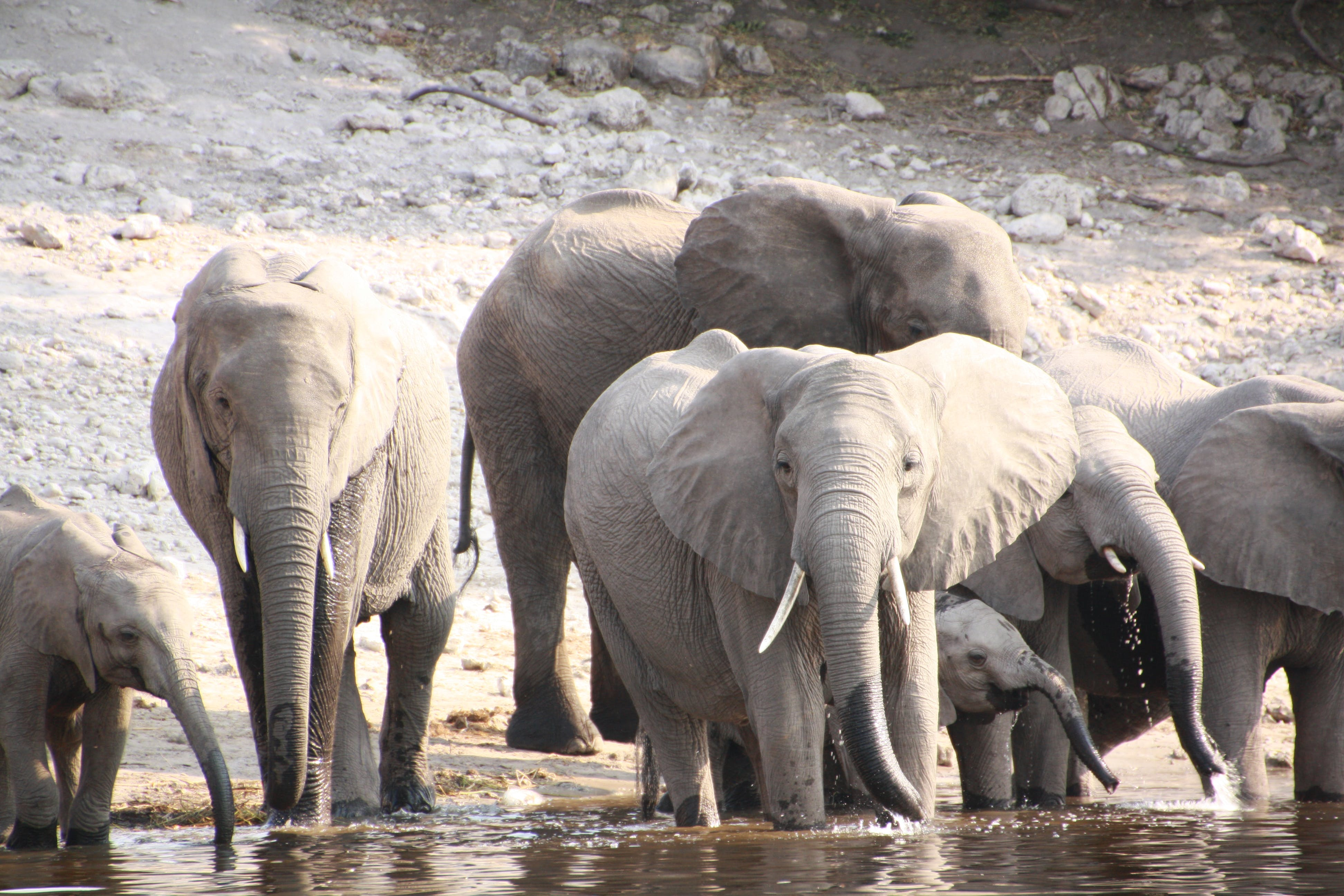 Free stock photo of africa, african elephant, elephant, river