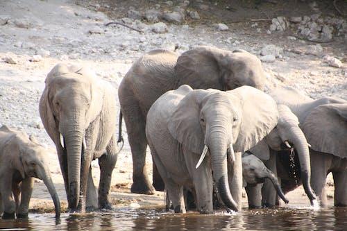 Free stock photo of africa, african elephant, elephant, safari