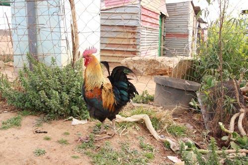 Free stock photo of africa, chicken, coop