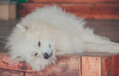 Close-Up Photo of Samoyed Dog Laying On Wooden Surface