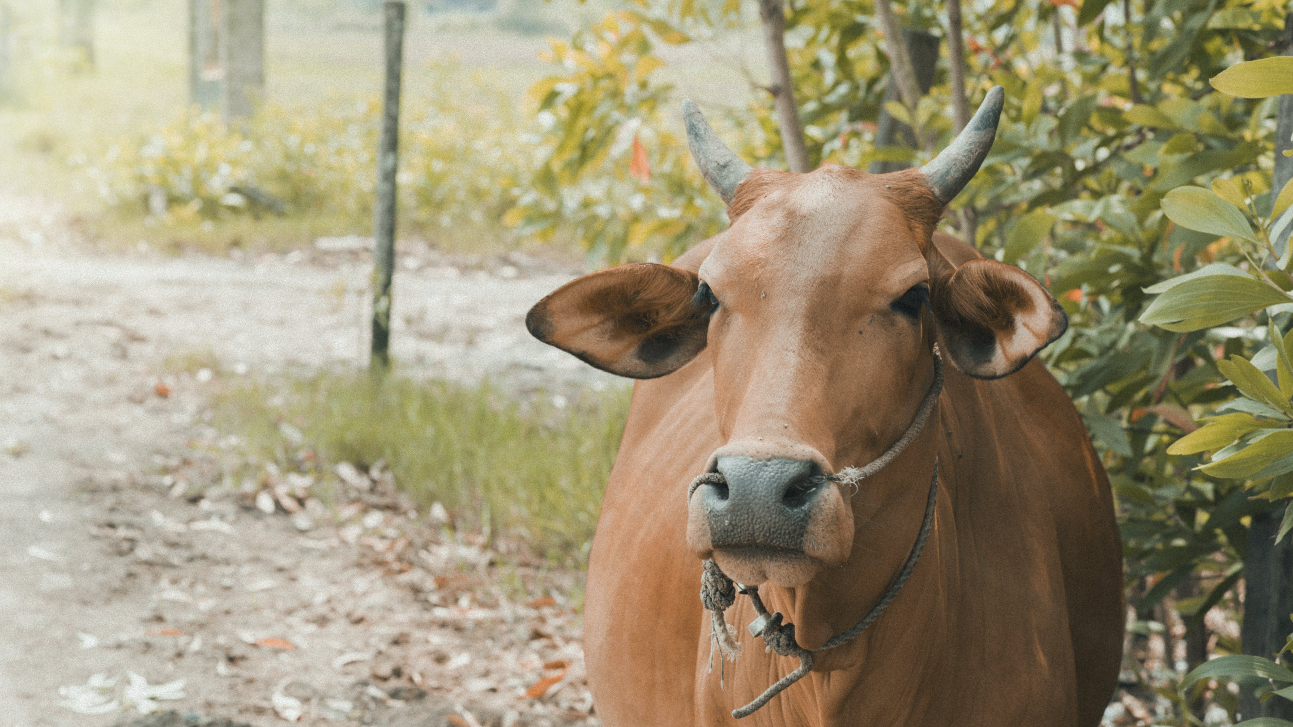 Brown Cow Standing Near Plants