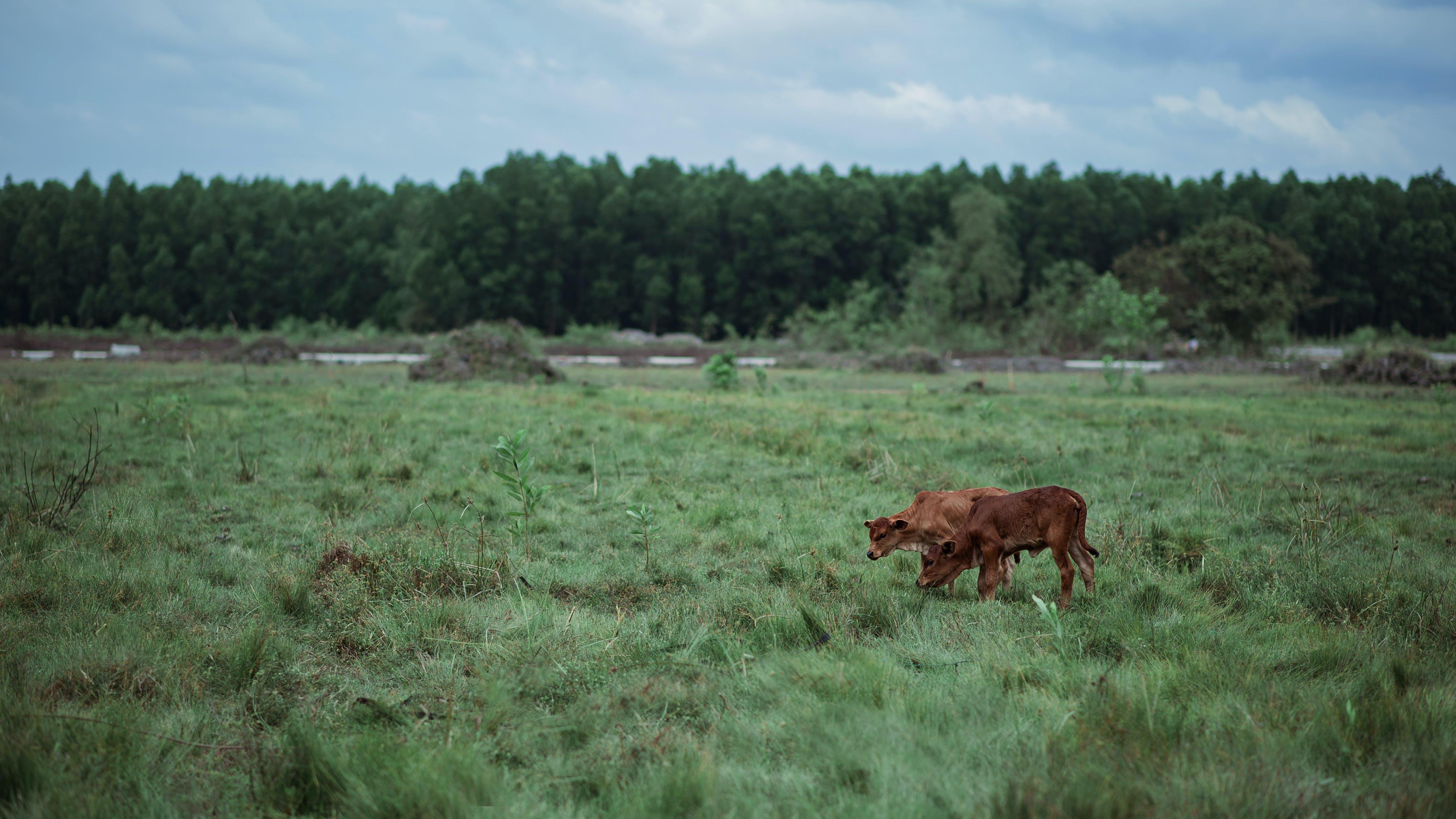 Brown Cattle on Green Grass Field