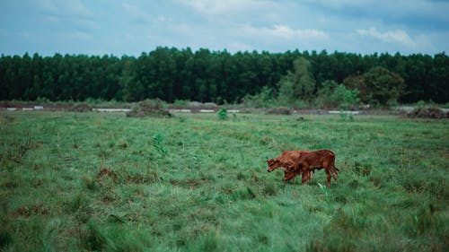 Brown Cattle on Green Grass Field