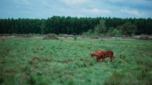 Gratis arkivbilde med åker, beitemark, buskap, dyrket jord