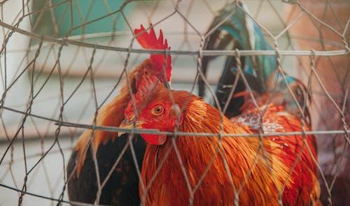 Ilmainen kuvapankkikuva tunnisteilla aita, eläimet, kana, lemmikkieläimet