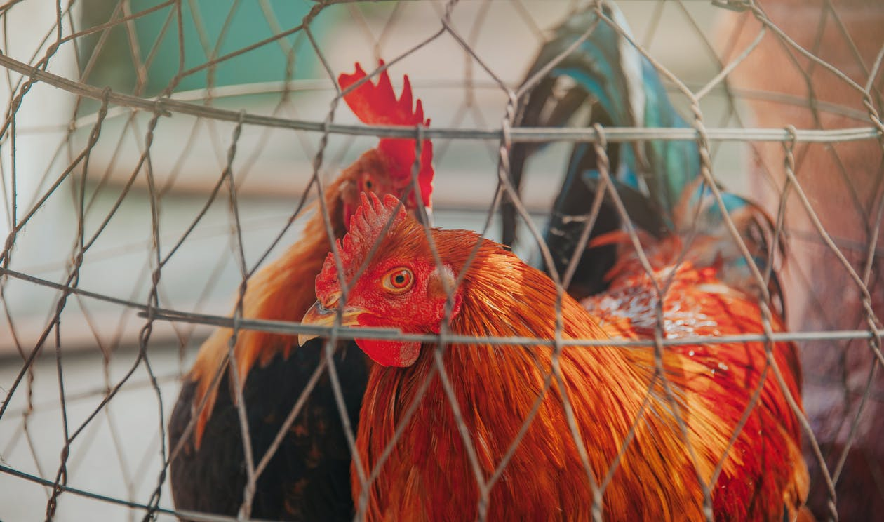 Two Chicken Inside Cage