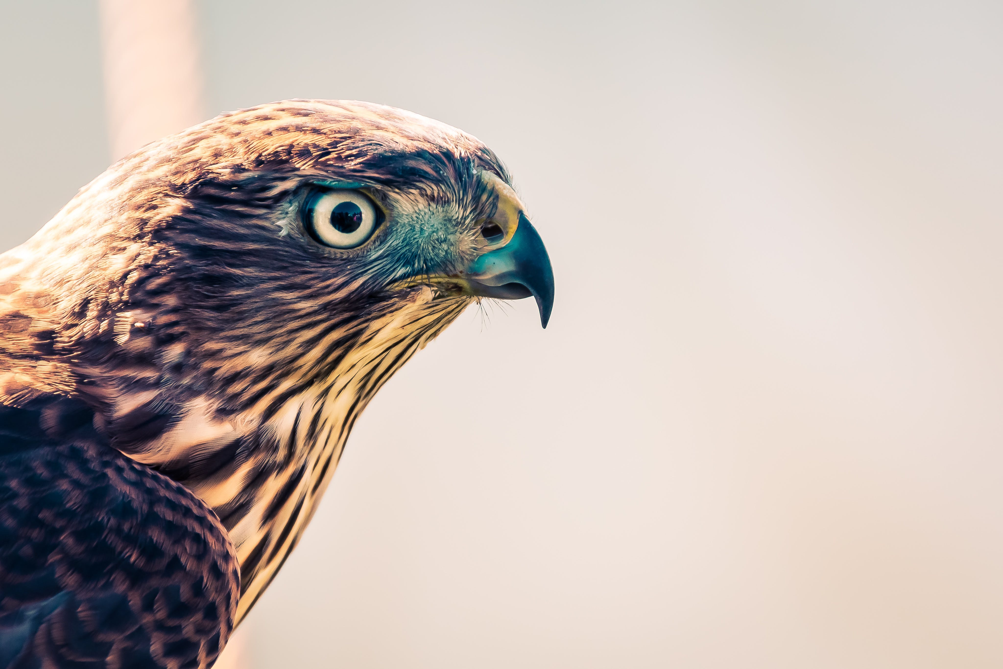 Selective Focus Photography of Falcon