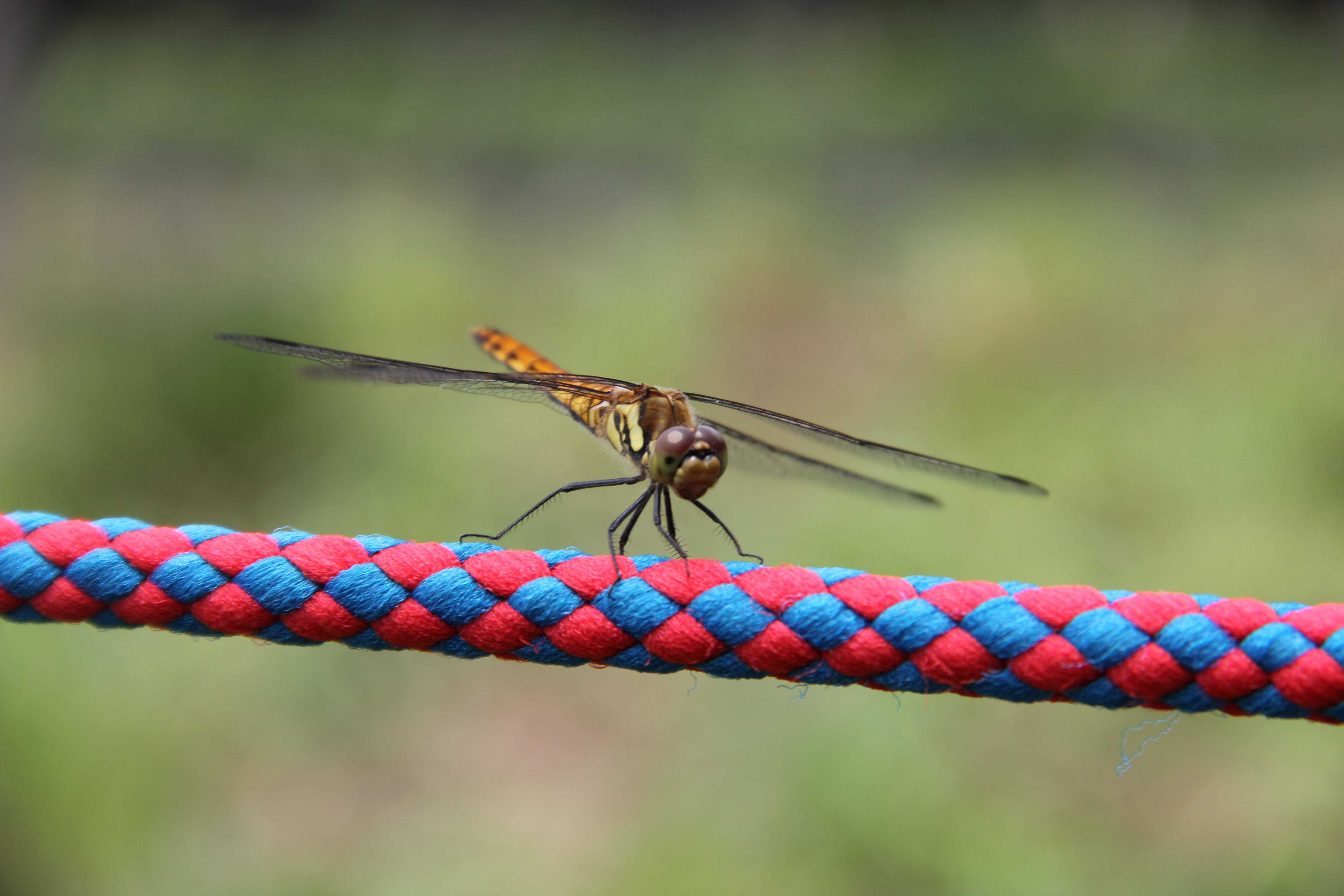 Focus Photography of Brown Skimmer Insect