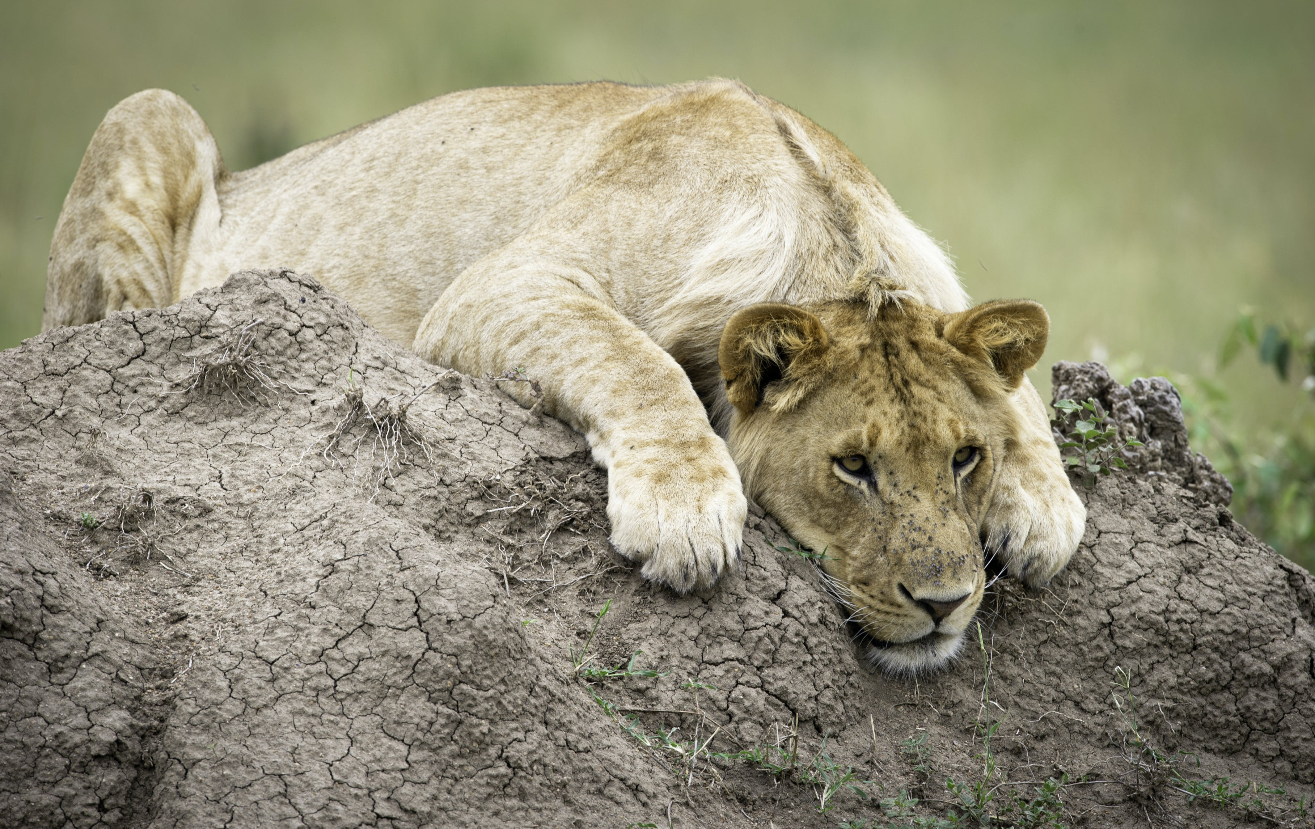 Lioness On Top Of Brown Rock