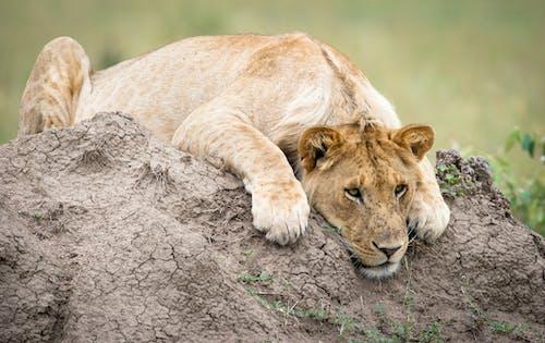 Ảnh lưu trữ miễn phí về con vật, mèo, mèo hoang, safari