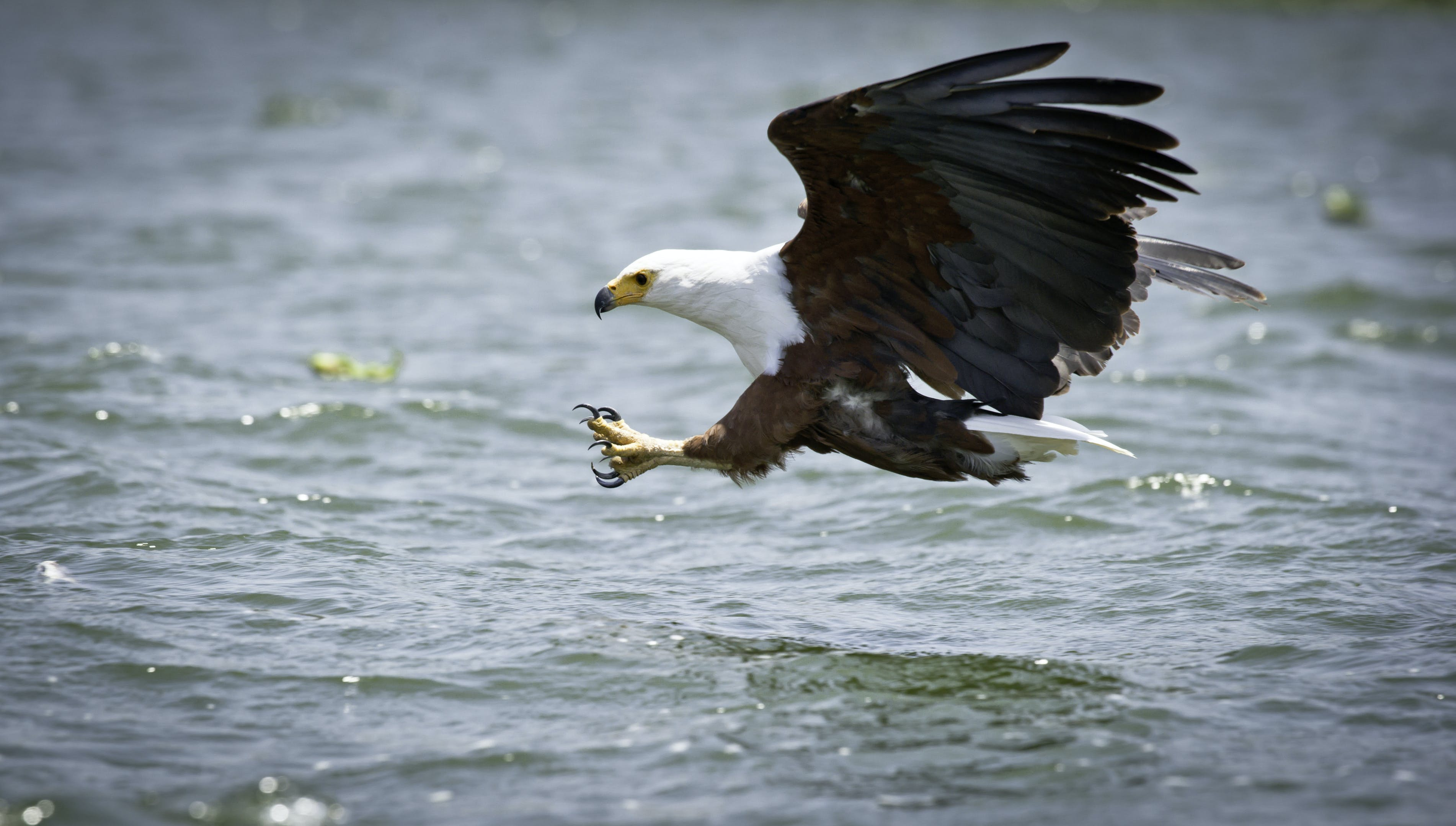 Eagle Catching for Fish
