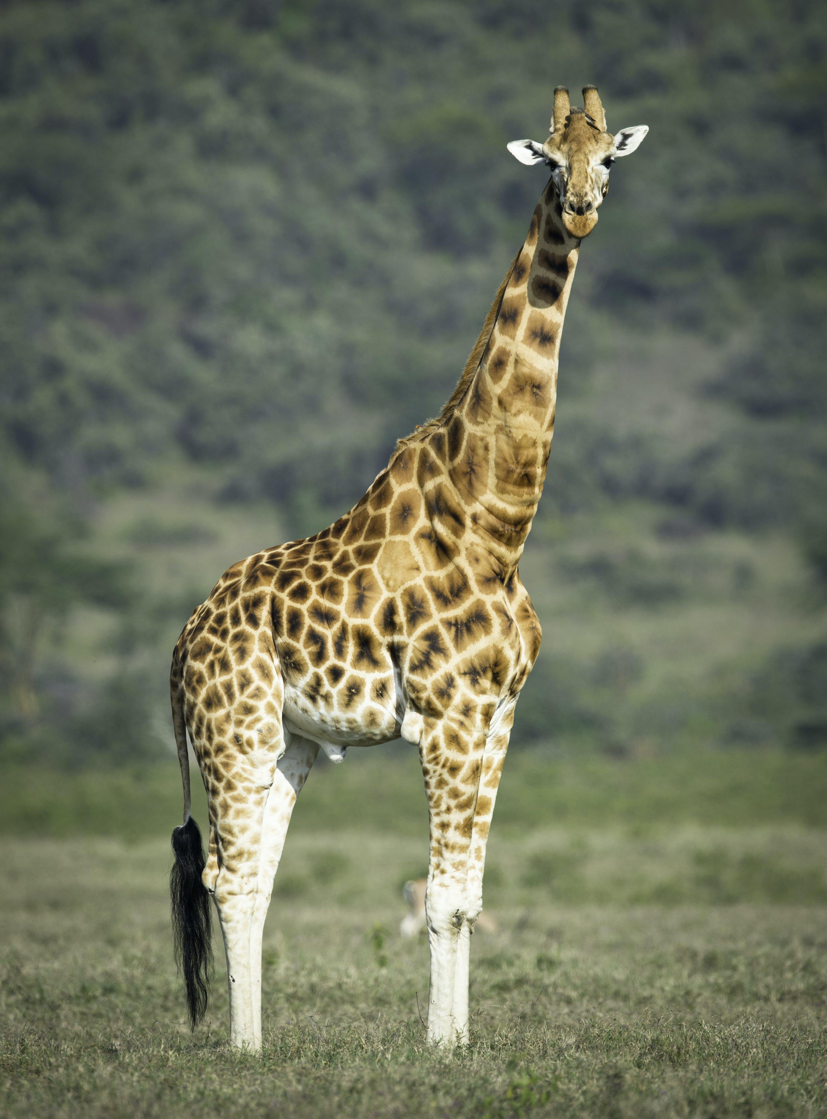 Shallow Focus Photography Of Giraffe